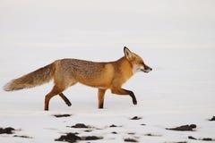 Renard rouge dans la neige image libre de droits