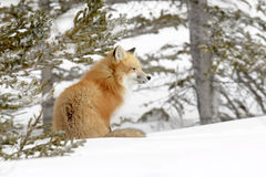 Renard rouge dans la neige Photo stock