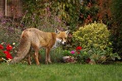 Renard rouge dans le jardin avec des fleurs photographie stock libre de droits