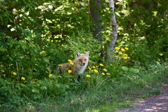 Renard rouge dans les bois Image libre de droits