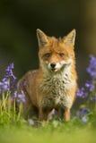 Renard rouge dans les jacinthes des bois - vulpes de Vulpes Image libre de droits