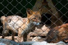 Renard rouge dans une cage dans un zoo Fin vers le haut Front View photos stock