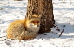 Renard rouge en hiver Photographie stock