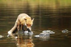 Renard rouge en rivière mangeant le petit vulpes de Vulpes de poissons photos stock