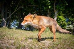Renard rouge marchant très étroit Photographie stock libre de droits