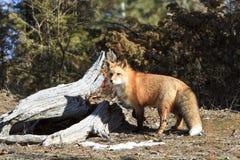 Renard rouge près de forêt d'identifiez-vous image libre de droits