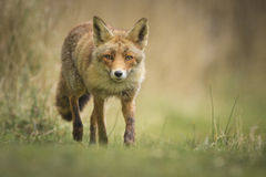 Renard rouge sauvage Images stock