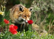 Renard rouge sentant une tulipe au printemps photos stock