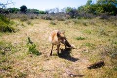 Renard rouge sur un champ herbeux Images libres de droits