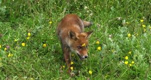 Renard rouge, vulpes de vulpes, chiot marchant dans le pré avec les fleurs jaunes, Normandie en France, mouvement lent banque de vidéos