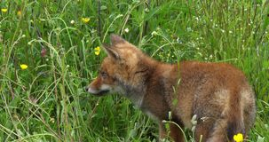 Renard rouge, vulpes de vulpes, chiot marchant dans le pré avec les fleurs jaunes, Normandie en France, mouvement lent clips vidéos