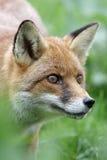 Renard rouge, vulpes de Vulpes Photo libre de droits