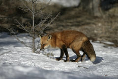 Renard rouge, vulpes de Vulpes Photo stock