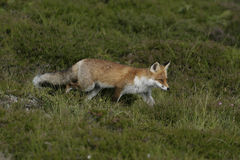 Renard rouge, vulpes de Vulpes Image libre de droits