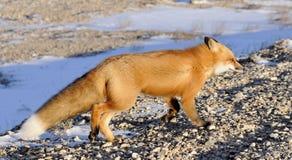 Renard rouge, vulpes de Vulpes en hiver Photos stock
