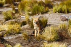Renard sud-américain, désert d'Atacama, Chili photos libres de droits