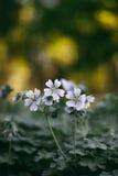 Renardii del geranio en el macizo de flores Foto de archivo