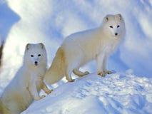 Renards arctiques, paires de Lagopus d'Alopex sur l'observation de colline de neige photo stock