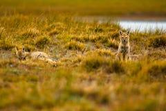 Renards dans la steppe Images libres de droits