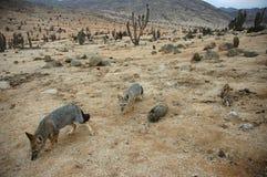 Renards dans le désert du Chili photos stock