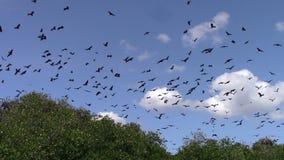 Renards de vol au-dessus d'île de Riung banque de vidéos