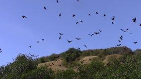 Renards de vol au-dessus de palétuvier de Riung banque de vidéos