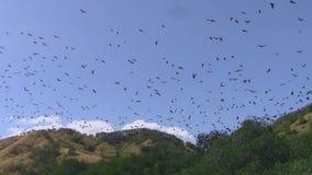 Renards de vol au-dessus de palétuvier de Riung clips vidéos