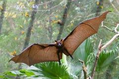 Renards de vol au zoo de Singapour photo stock