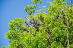 Renards de vol australiens dans un arbre Photographie stock libre de droits