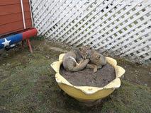 Renards gris sur le pot de fleur Image libre de droits