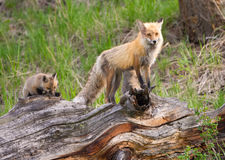 Renards rouges affectueux. Parc national de Yellowstone photo libre de droits