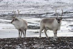 Renas árticas Foto de Stock Royalty Free