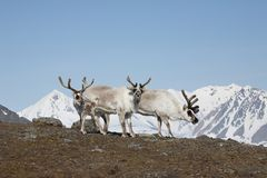 Renas árticas Imagem de Stock