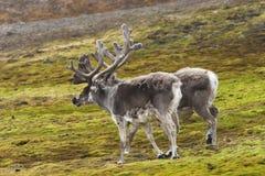 Renas árticas Imagens de Stock