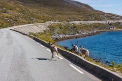 Renas em Finnmark, Noruega Fotos de Stock