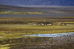 Renas em Islândia central Imagens de Stock Royalty Free