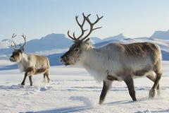 Renas no ambiente natural, região de Tromso, Noruega do norte Fotos de Stock