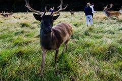 Rencontre étroite avec un cerf commun Photographie stock libre de droits
