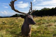 Rencontre étroite avec un cerf commun Photo stock