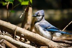 Rencontre avec un geai bleu dans le Central Park, NY image libre de droits