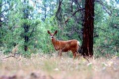 Rencontre de cerfs communs Photographie stock