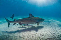 Rencontre sous-marine de requin de tigre et de plongeur de sucba Photo libre de droits