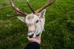 Rencontre étroite avec un cerf commun Image stock