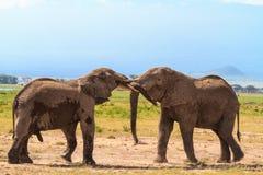 Rencontrer de grands éléphants Amboseli, Kenya Photos libres de droits