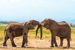 Rencontrer de vieux éléphants Amboseli, Kenya Photo libre de droits