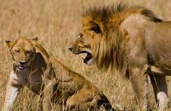 Rencontrer le lion et la lionne dans la savane Stationnement national kenya tanzania Masai Mara serengeti Photos libres de droits