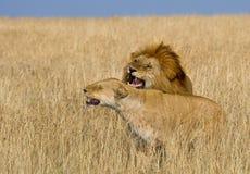 Rencontrer le lion et la lionne dans la savane Stationnement national kenya tanzania Masai Mara serengeti Images stock