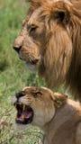 Rencontrer le lion et la lionne dans la savane Stationnement national kenya tanzania Masai Mara serengeti Photographie stock