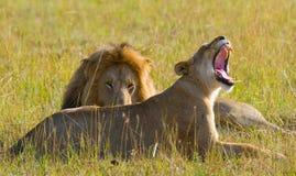 Rencontrer le lion et la lionne dans la savane Stationnement national kenya tanzania Masai Mara serengeti Photo libre de droits