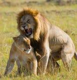 Rencontrer le lion et la lionne dans la savane Stationnement national kenya tanzania Masai Mara serengeti Image libre de droits